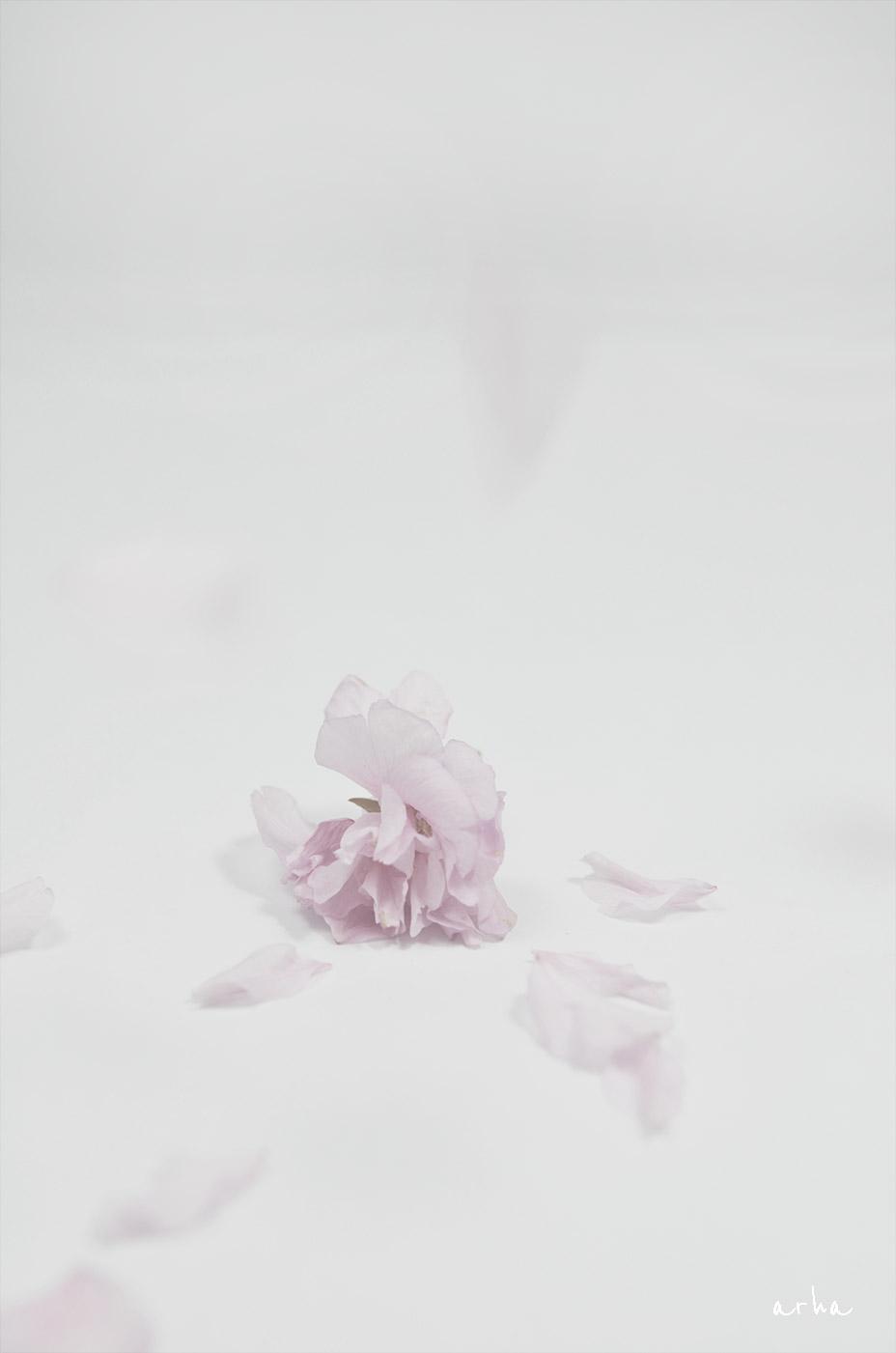Cherry-blossoms-were-scattered-1-copyright-2012-arha-Tomomichi-Morifuji