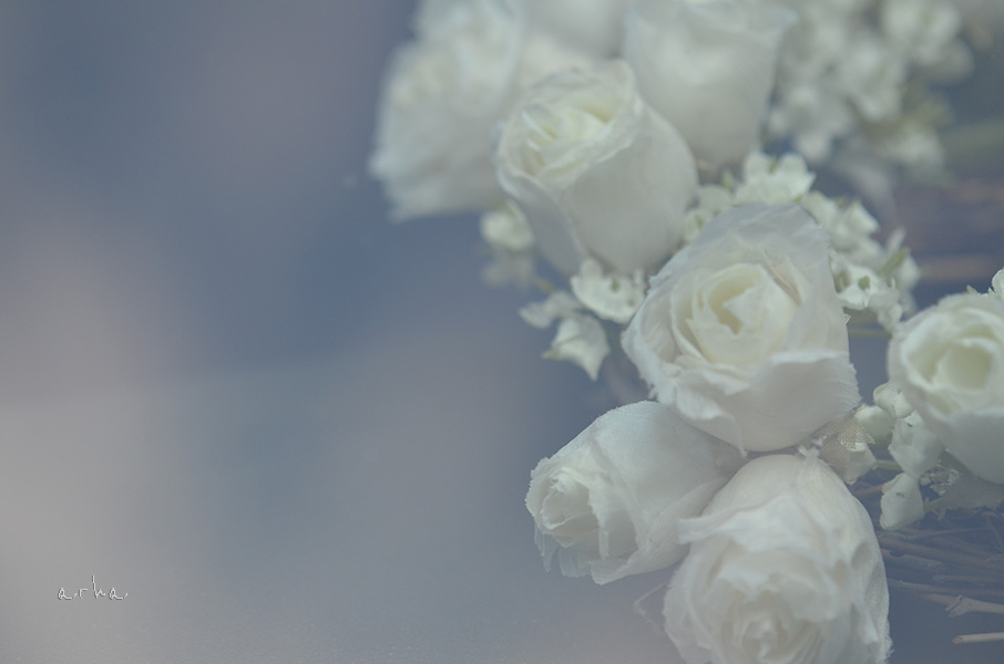White-rose-of-the-window